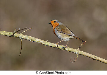Robin, Erithacus rubecula, single bird on perch,...