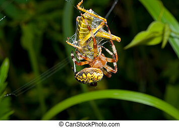 Spider with grasshopper 1 - The spider winds a web of the...