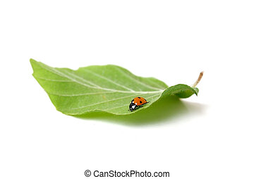 Lady bug on a leaf
