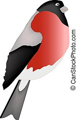 The bird is isolated on a white background A bullfinch - a...
