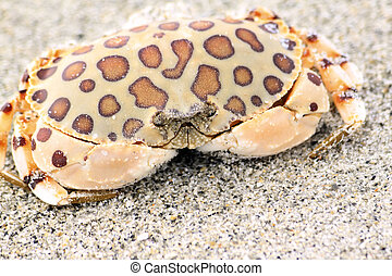 Calico Crab - Calico crab on the beach in Sanibel Island,...
