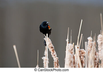 Red Wing Blackbird on Cat Tail