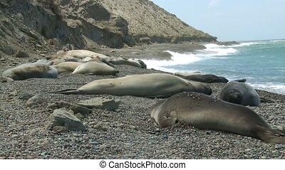 Seal rookery on the coastline of Atlantic Ocean. Punta...