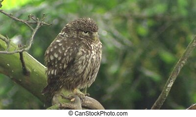 Little owl athene noctua perched on branch in forest + turns...