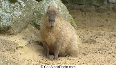 Capybara (Hydrochoeris hydrochaeris) in sand - on camera....