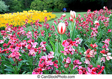 Yellow tulips and pink gillyflowers in the park