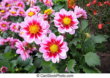 Beautiful dahlia blossom in the garden