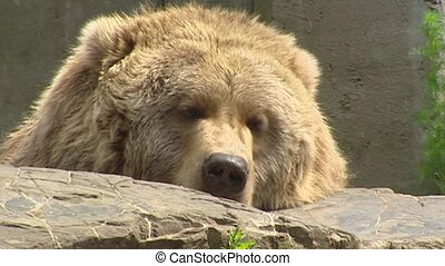 Kodiak bear Ursus arctos middendorffi sleepy - close up - on...