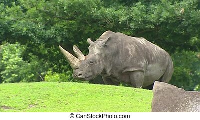 White Rhinoceros (Ceratotherium simum) - on camera - White...