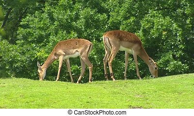 Impala 2 shot grazing in park This is the most common...