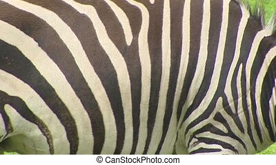 Zebra skin stripes Grants zebra Equus quagga boehmi close up...