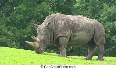 White Rhinoceros Ceratotherium simum grazing - White...