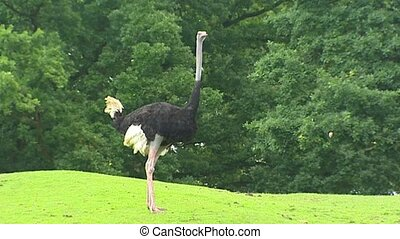Ostrich male Struthio camelus standing still in park The...