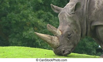White Rhinoceros (Ceratotherium simum) grazing - close up...