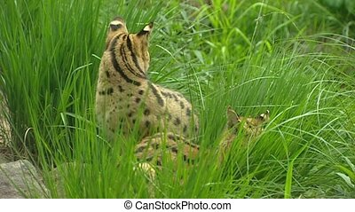 Serval Leptailurus serval or Felis serval The serval is a...
