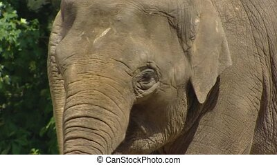 Asian Elephant (Elephas maximus) close up head chewing