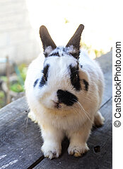 Netherland dwarf rabbit - View of rabbit close-up...