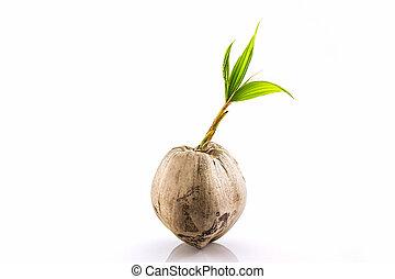 jovem, broto, de, coco, árvore, .,