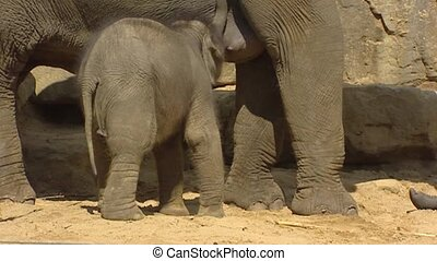 Asian Elephant Elephas maximus nursing baby - side view