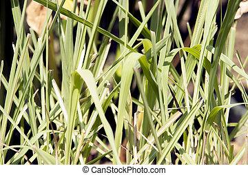 Lemongrass green leaf in nature - Lemongrass green leaf in...