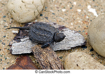 baby snapping turtle - Baby snapping turtle on wood and...