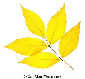 Yellow ash leaf isolated on white