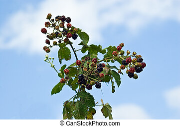 From raw to rotten - an image of bramble fruit or...