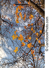 Liquidambar autumn leaves against the blue sky
