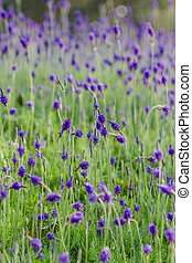 lavender flowers - Closeup of purple lavender flowers in the...