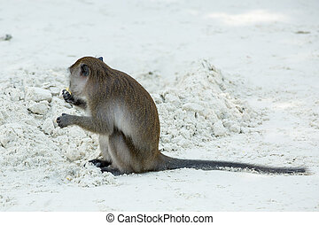 Monkey beach. Crab-eating macaque at  Phi-Phi, Thailand