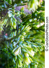 Macro of goldcrest cypress - The Macro shot of the home...