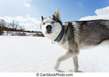 Portrait of husky - Husky on a white snow background at...