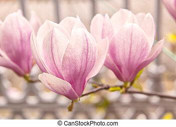 Magnolia tree - Image of a pink magnolia tree