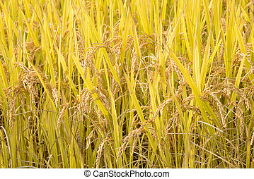full ripen rice in autumn - closeup of full ripen rice in...