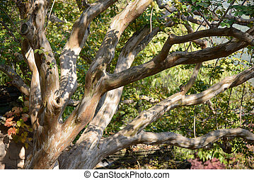 Crape Myrtle tree branch in a outdoor