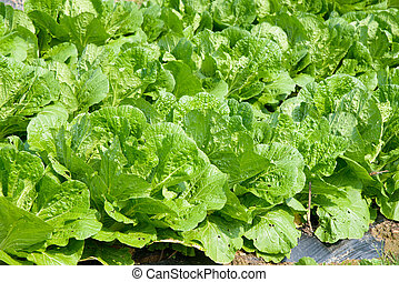 chinese cabbage farm - view of well ripe chinese cabbage...