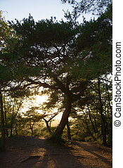 pine tree with back lit - pine tree with sunlight back lit