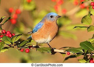 Male Eastern Bluebird (Sialia sialis) perched in a holly...