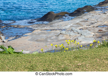 Delicate yellow wildflowers growing on grassy cliff top edge...