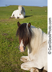 Icelandic Horses At Rest In A Field