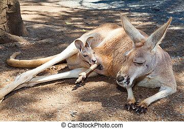 Kangaroo with joey - Adult kangaroo relaxing with joey in...
