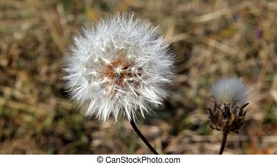 Autumn blowball - dry white dandelion swayed in the wind,...