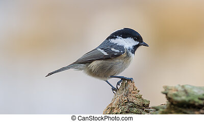 Coal Tit on Top - Coal Tit (Parus ater) on top of the stub...