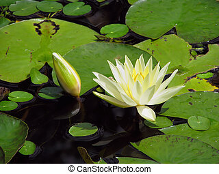 water lily - blooming water lily and bud amid lily pads