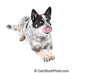 Australian Cattle Dog Laying Tongue Out - An Australian...