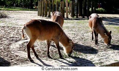Antelope Defassa Waterbuck Kobus ellipsyprymnus Berlin Zoo...