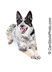 Happy Australian Cattle Dog Laying - A cute Australian...