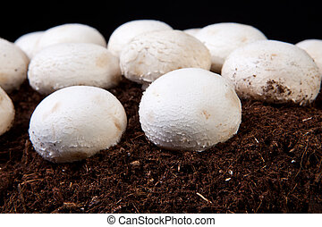 White mushrooms growing over black soil. Isolated over black...
