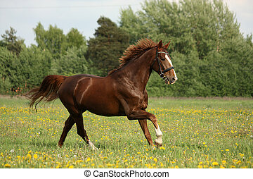 Chestnut beautiful horse galloping at the blooming meadow -...