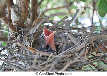 Hungry - A hungry baby bird, its a baby cardinal